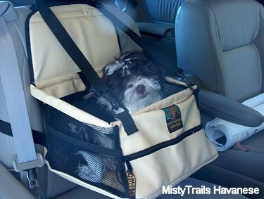 A black with white Havanese is sitting in a bag that is strapped to a chair in the backseat of a vehicle.