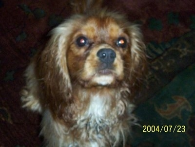 Rusty the Cavalier King Charles Spaniel is standing on a rug in a house. Rusty is looking up at the camera holder