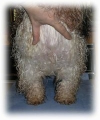 Close up - The chest of a wet with black and white dog that is standing on a towel. The person's hand is pulling the hair of a dog up to show its straight legs.