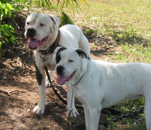 American Bulldog Information and Pictures