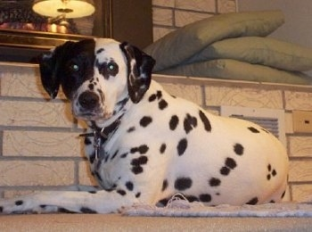 Dalmatian Fire Dog Pictures, 2