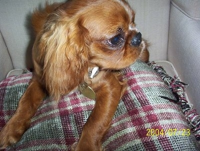 Close up - Oliver the red with white English Toy Spaniel is laying on top of a plaid pillow in a chair and looking to the right