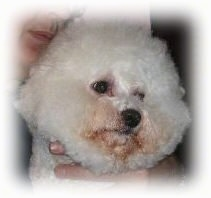 Close up head shot - A puffy haired white Bichon Frise with just a little staining around its mouth and eyes.