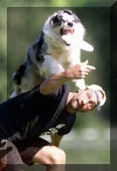 Chris the Australian Shepherd is jumping off of the back of his handler, Frans Van Roij, to catch a frisbee that the handler is throwing
