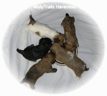 Top down view of five newborn puppies eating kibble out of a round silver dish on a white blanket.