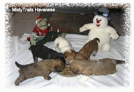 Five newborn puppies are eating kibble ontop of a white blanket in front of a frog plush toy and a Frosty the Snowman plushy.