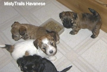 Four puppies standing around a bowl of kibble on a tiled floor and they are looking up.