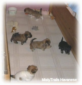 One puppy is walking towards a bowl of water. In front of it are three puppies playing and in front of them is a puppy sitting against the wall all inside of a whelping box.