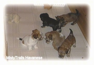 Five puppies on a white tiled floor inside of a wooden whelping box. Two puppies are sitting and sniffing each other, in front of them is a puppy sniffing the tiled floor and behind them are two puppies playing.
