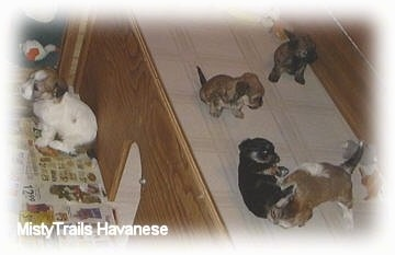 A puppy is sitting against the wall of the wooden whelping box and across from it are four other puppies playing.