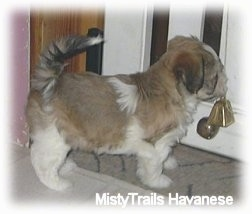 The back right side of a brown with white puppy that is standing in front of a door that has bells hanging from it.