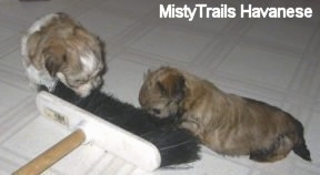 Two puppies are sniffing the brush side of a broom on top of a white linoleum floor.