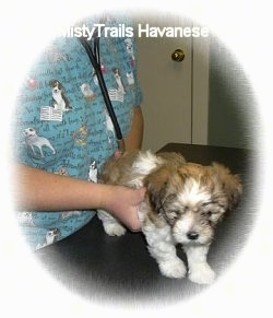 A brown with white puppy is standing on a table and a vet is standing to its left listening to its heart with a stethoscope.