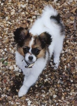 Front view - A fluffy, white with tan and black Papillon puppy is walking down a rocky surface looking up.