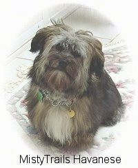 A black with tan and white Havanese is sitting on a rug, it is looking up and its head is slightly tilted to the right.