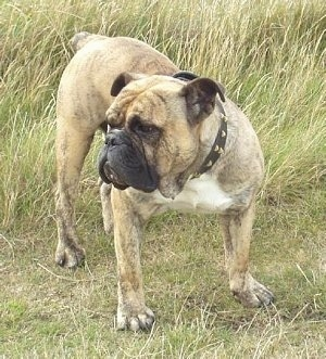 Front view - A tan with white and black Victorian Bulldog is standing in a field and it is looking to the left. The dog has a wide chest, big paws and a black pushed back muzzle.
