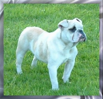 A short legged, wide chested, white with tan Victorian Bulldog is standing in a lawn and it is looking to the right. Its nose is set back on its face. It has extra skin around its neck and chest area.