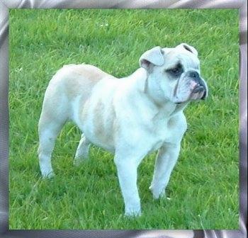 Victorian bulldog - photo#3