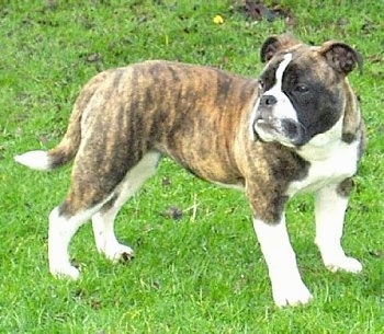 The right side of a brindle with white Victorian Bulldog that is standing across a lawn and it is looking to the left. The dog has short legs, a flat muzzle, black nose and a long tail.