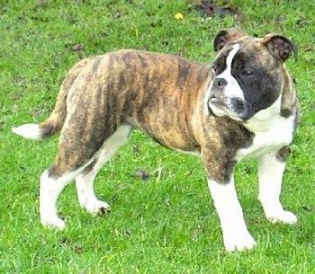 Victorian bulldog - photo#11