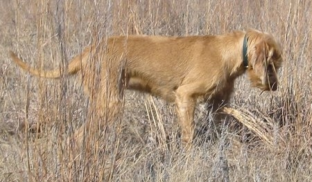 The right side of a Wirehaired Vizsla dog with a long tail that is standing in a field with tall dried brown grass. The Vizsla is looking down.