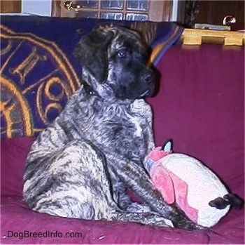 The right side of a brindle American Mastiff puppy that is sitting on a couch with a penguin plush toy in front of it.