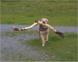 Cali the Labrador Retriever is carrying a huge branch through a field