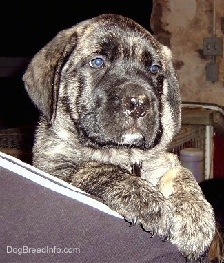 Close up - A brindle American Mastiff puppy is peering over the shoulder of a person that is holding it. There is a stone wall behind it.