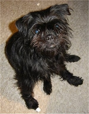 A small breed, scruffy-looking black Affenpinscher dog is sitting on a carpet and looking up.