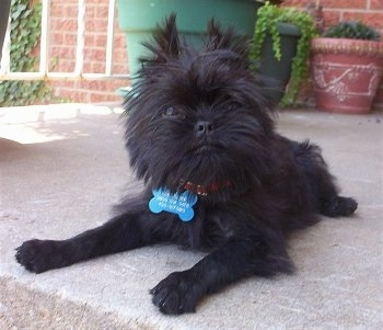 The front left side of a black Affenpinscher puppy with bone shaped dog tag and it is laying on porch