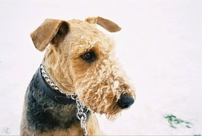 Close up - A black with tan Airedale Terrier is wearing chain collar with snow on its face and it is looking to the right.