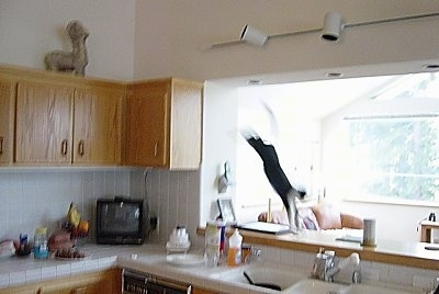 Henry the cat is jumping from the top of a kitchen cabinet to an opening in front of the sink