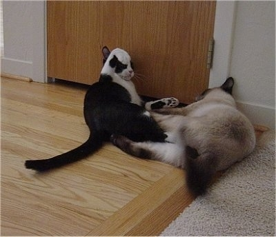 Henry the black and white cat and a Siamese cat playing with each other, paws in the air in front of a closet door
