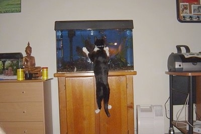 Henry the Cat jumping up at a fish tank to see the fish inside the water with a computer printer to the right and another fish tank to the left