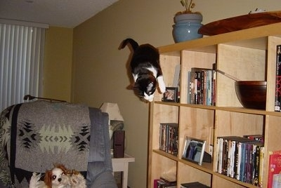 Henry the Cat jumping off of a bookshelf to the ground. A dog is in the recliner watching the cat fall