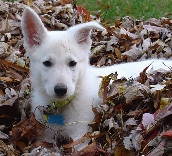 American White Shepherd (Berger Blanc Swiss) (American-Canadian White Shepherd) (White German Shepherd)