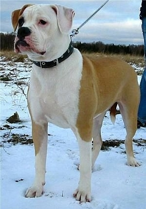 The front left side of a tan with white American Bulldog that is standing across a snowy field. It is looking to the left and there is a person standing behind it holding a leash.
