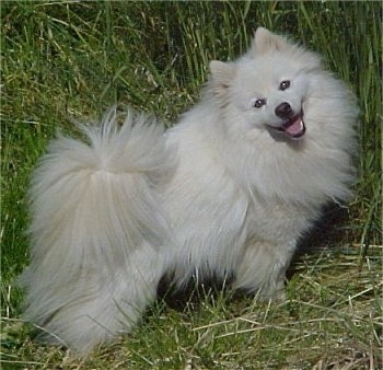 The right side of a white American Eskimo that is standing in large grass with its mouth open and it is looking forward.