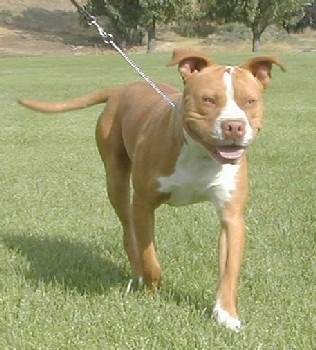 The front right side of a red-nose American Pit Bull Terrier is happily walking on a lawn with its mouth open and it is wearing a leash