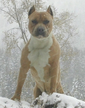 A red and white American Staffordshire Terrier is standing in a snow storm on top of a bunch of snow and its large chest is prominant.