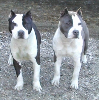 Two American Staffordshire Terriers standing waterside