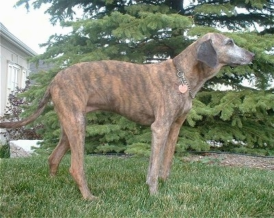 The right side of a brindle Azawakh Hound that is wearing a choke chain collar and it is standing across a yard with a douglas fir tree behind it