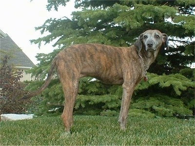 The right side of a brindle Azawakh Hound that is standing across grass with a douglas fir tree behind it and itt is looking forward.
