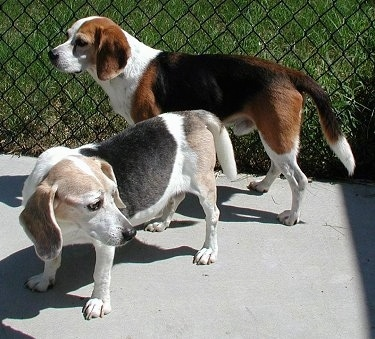 Butch the Beagle standing on the sidewalk in front of a chain link fence with Barney the Beagle behind him