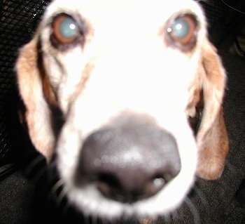 Close Up - Beagles face with the focal point on the nose