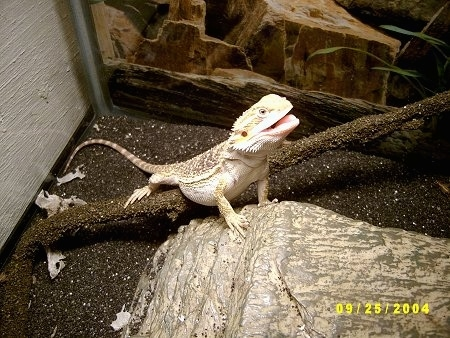 A Bearded Dragon is standing on a tree limp and against a rock. It is looking up and its mouth is open.