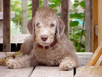 Bedlington Terrier puppy laying on a wooden deck