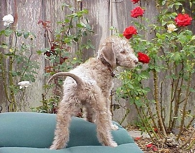 Bedlington Terrier Puppy sniffing a red rose flower with a wooden fence in the background