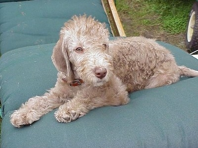 Bedlington Terrier Puppy laying on a lawn chair