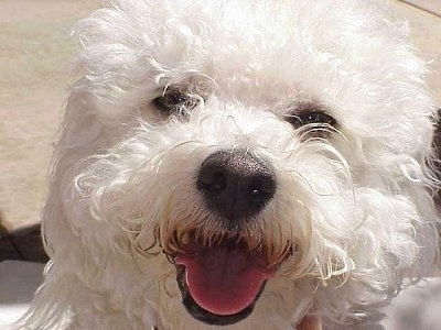 Close Up head shot - Princess the Bichon Frise with her mouth open and tongue out looking happy